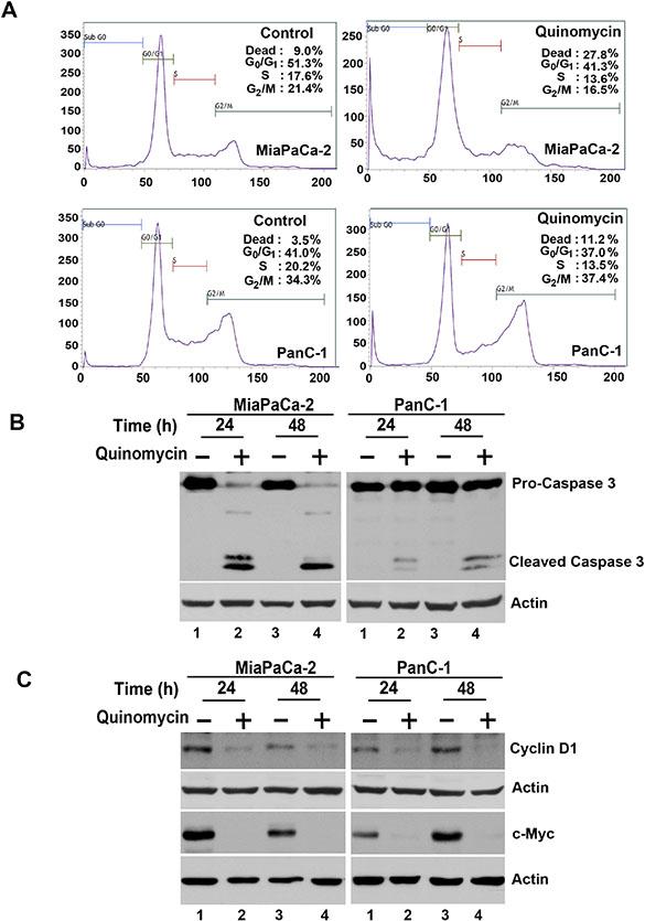 Quinomycin induces cancer cell apoptosis.