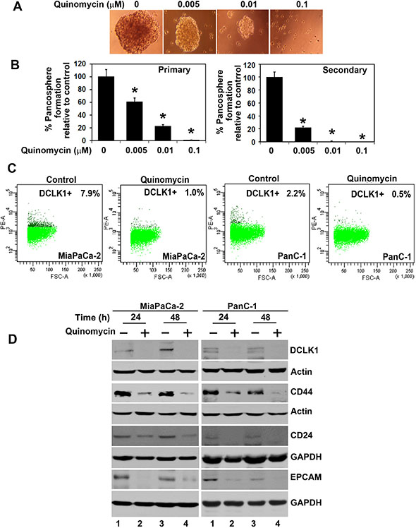 Quinomycin affects cancer stem cell marker expression.