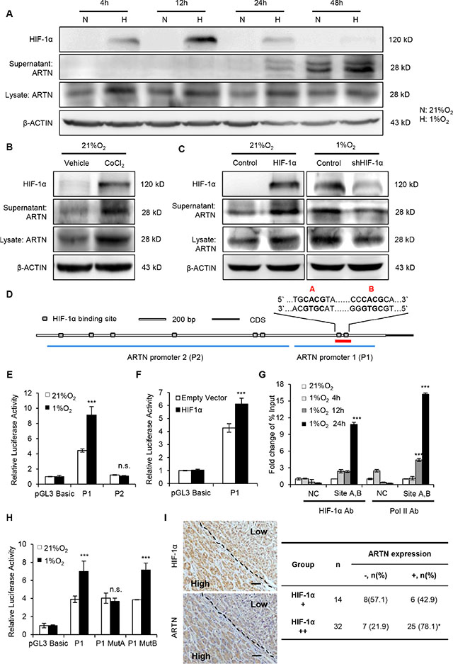 Hypoxia transcriptionally enhances ARTN expression.