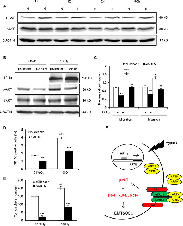 ARTN mediates hypoxia induced EMT and CSC promotion in HCC cells.