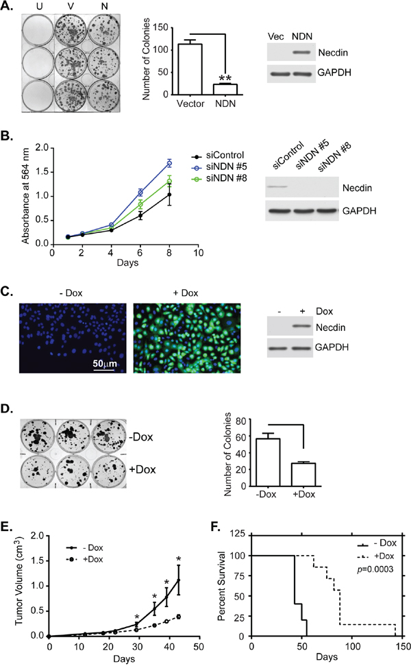Necdin expression inhibits tumor cell growth in vitro and in vivo.