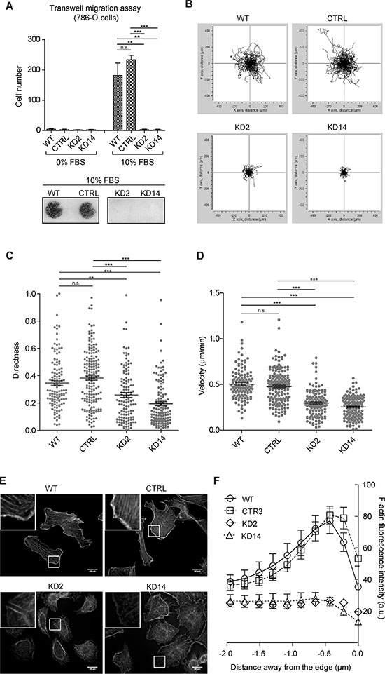 MICAL2 abatement in vitro reduces motility of 786-O ccRCC cells.