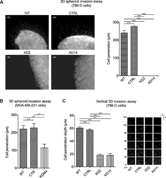 MICAL2 abatement strongly reduces cancer cell 3D invasion properties.