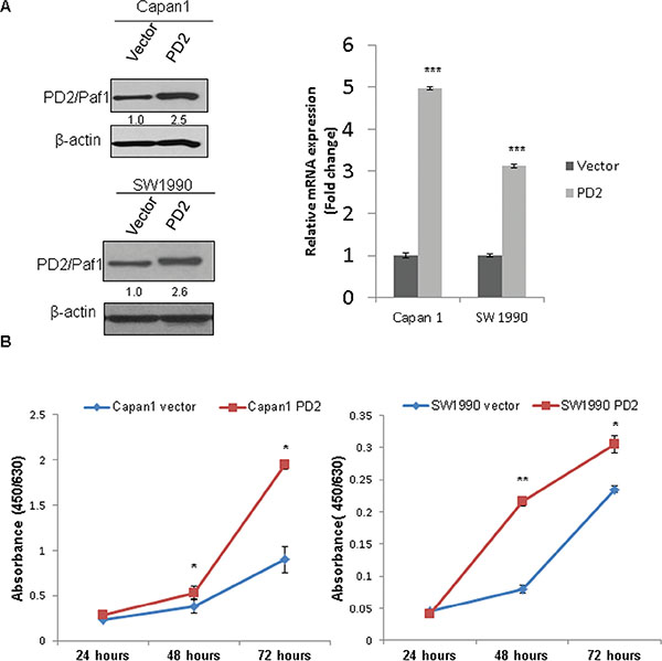 Ectopic overexpression of PD2 led to increased PDAC cell growth.