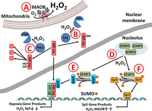 Putative MAOB alteration in gliomal phenotype.