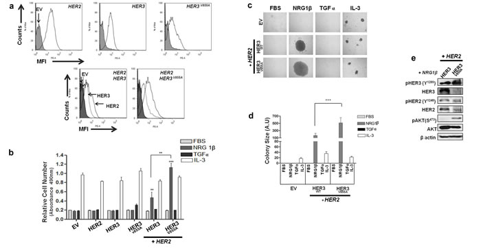 HER3-V855A combined with HER2 enhances neuregulin 1β-induced activity in transformed Ba/F3 cells.