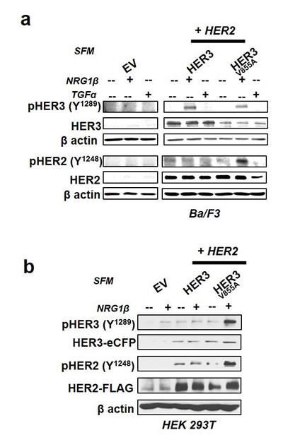 HER3-V855A enhances neuregulin 1β-induced activation of HER2 in transformed cells.