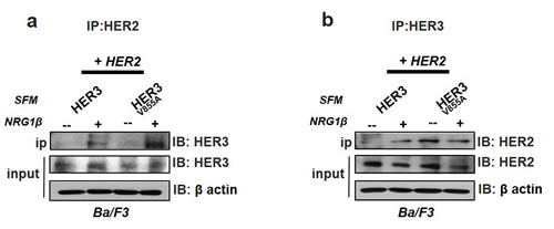 Enhanced interaction of HER2 with HER3-V855A