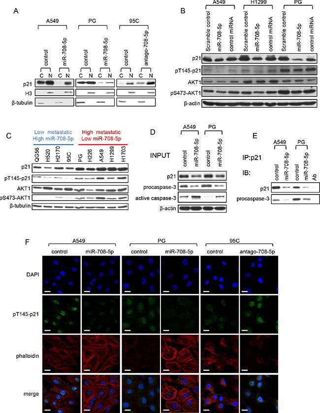 miR-708-5p inhibits cytoplasmic localization of p21.