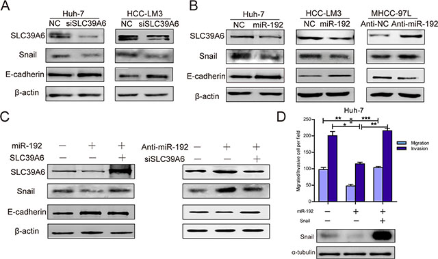 miR-192 inhibited SLC39A6/SNAIL/E-cadherin pathways in HCC cells.