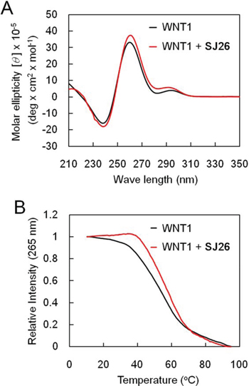 SJ26 enhances the melting temperature of WNT1 G-quadruplex.