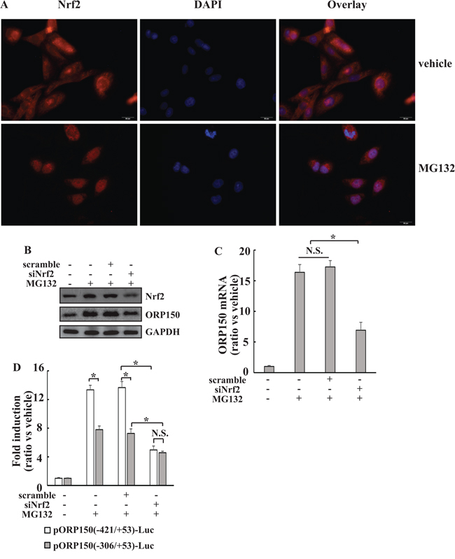 Implication of Nrf2 in ORP150 induction by MG132 at both -421/-307 and -243/+53 regions.