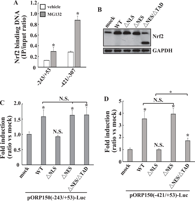 Direct transactivation of ORP150 gene by Nrf2 at the -421/-307 region.
