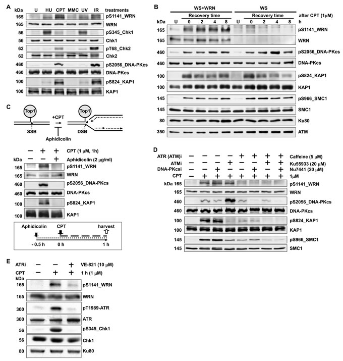 WRN is phosphorylated at serine 1141 by ATR in response to replication-associated DSBs.