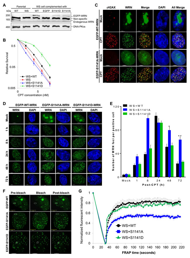 ATR-mediated WRN phosphorylation facilitates reversible interaction of WRN with replication-associated DSBs.