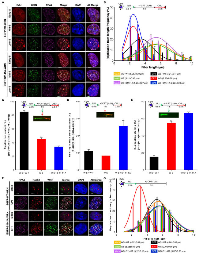 ATR-mediated WRN phosphorylation is critical for replication fork processes upon replication stress.