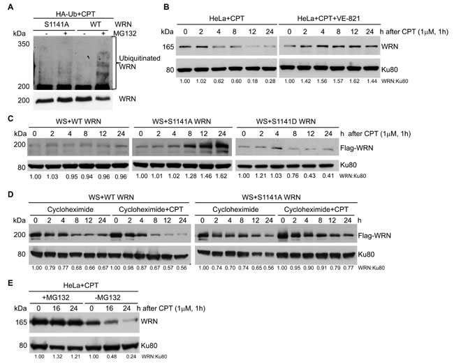 ATR-mediated WRN S1141 phosphorylation leads to ubiquitination of WRN and subsequent degradation after replication stress.