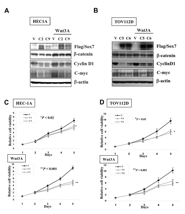 Enforced expression of Sox7 inhibits not only Wnt/β-catenin signaling activity but also cell growth of endometrial cancer cells.