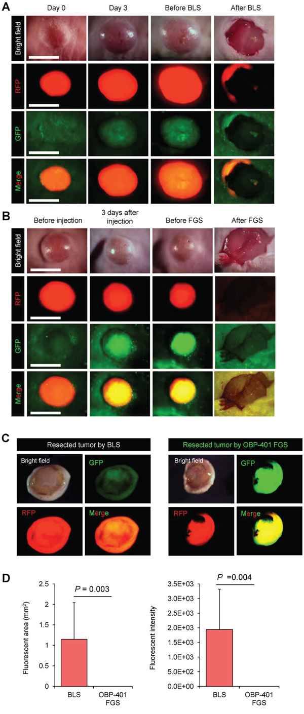 Figure 2. Comparison of OBP-401-targeted fluorescence-guided surgery with bright-light surgery for orthotopic malignant melanoma using a stationary imaging system.