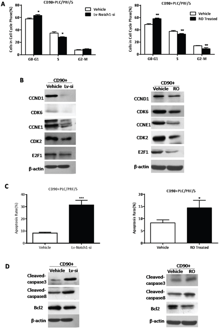 The inhibition of Notch signaling suppressed d G1-S transition in the cell cycle phase and increased apoptosis of CD90+ HCC cells.