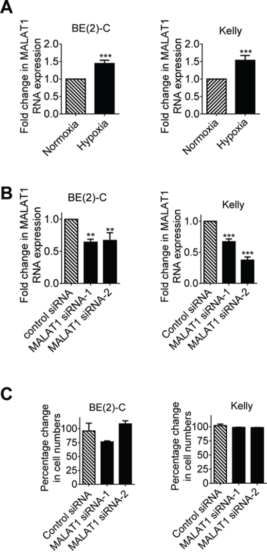 Hypoxia increases MALAT1 gene expression but MALAT1 does not affect cell proliferation in neuroblastoma cells.