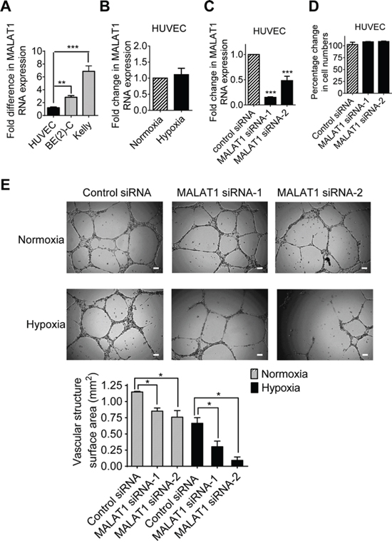 MALAT1 expression in endothelial cells induces vasculature formation.