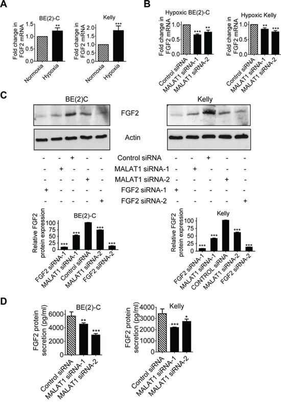 MALAT1 up-regulates FGF2 gene expression in neuroblastoma cells and FGF2 protein secretion under hypoxia conditions.