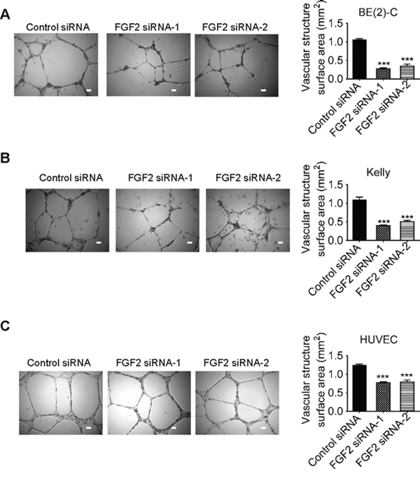 Knocking-down FGF2 expression in neuroblastoma or endothelial cells reduces vasculature formation.
