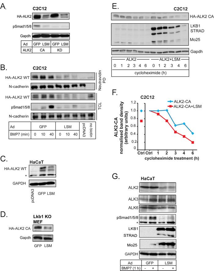 LKB1 downregulates BMP type I receptors.