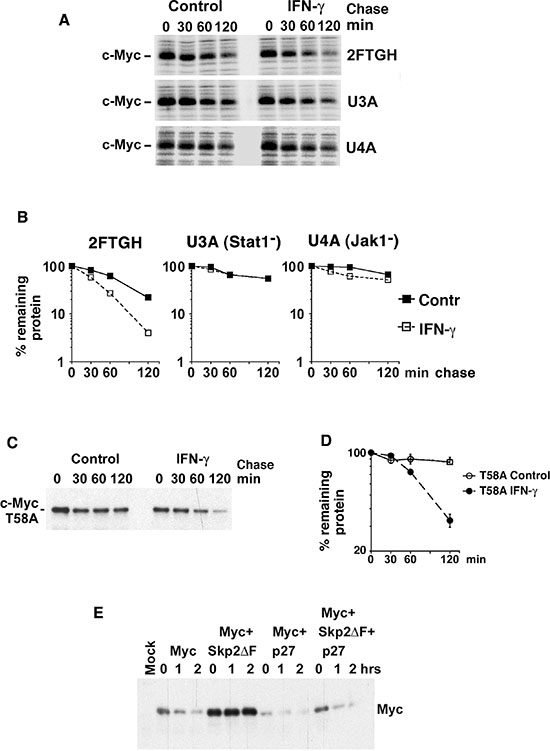 IFN-γ induces degradation of Myc in a Jak/Stat-dependent but Thr-58- and Skp2-independent manner.