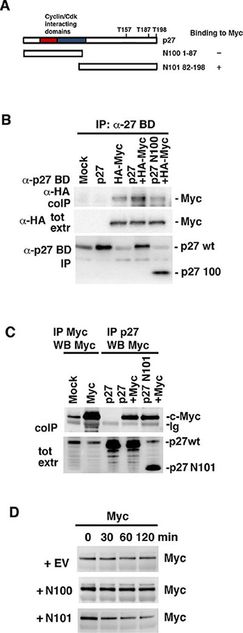 The C-terminus of p27 interacts with c-Myc and is sufficient to induce Myc degradation.