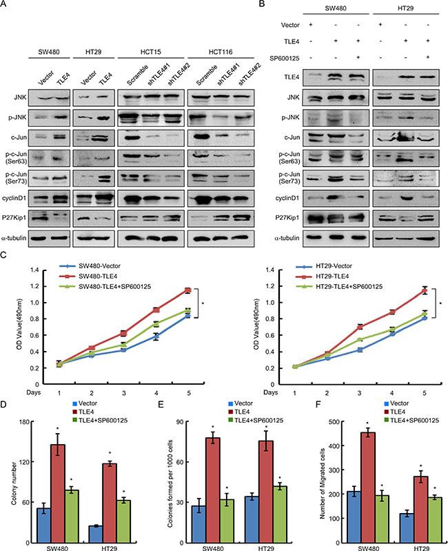 TLE4 activates JNK-c-Jun pathway in CRC cells.