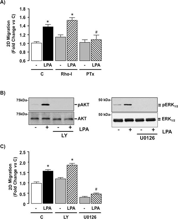 LPA-mediated cell migration is Gi-protein dependent in SKHep1 cells in vitro.