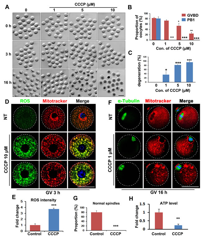 Inhibition of mitochondrial function by carbonylcyanide-m-chlorophenylhydrazone (CCCP) blocks oocyte maturation.