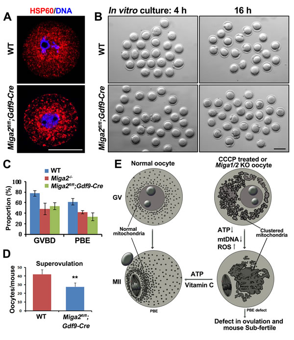 Phenotype analyses of mice with an oocyte-specific