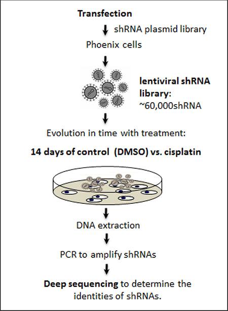 Schema of RNAi screen for cisplatin.