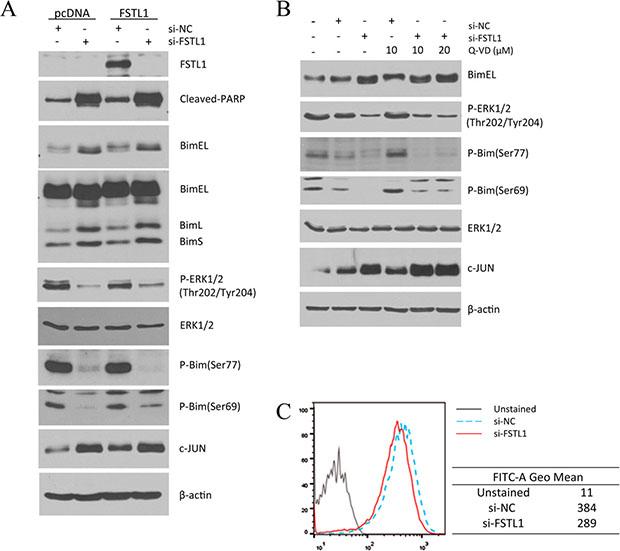 FSTL1-knockdown induced apoptosis was associated with increased Bim by decreased phosphorylation.