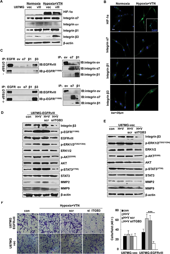 Integrin β3 regulated EGFRvIII activation under the microenvironment.