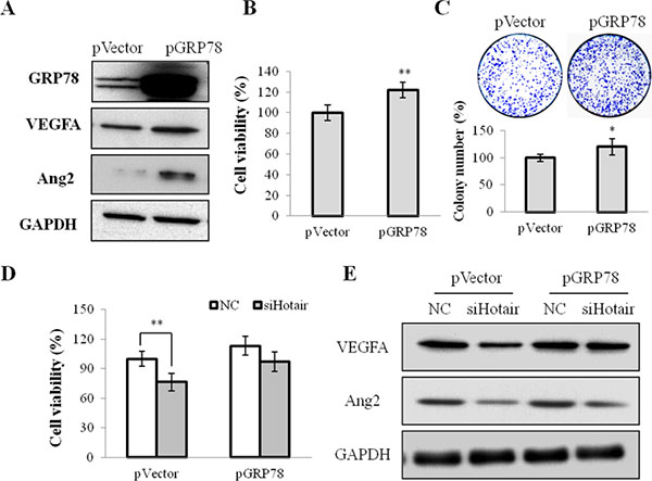 GRP78 overexpression mediated cell growth and angiogenesis in NPC cells.