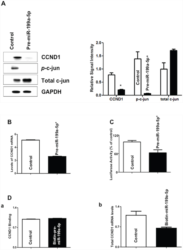 Effect of miR-199a-5p modulation on levels of c-jun and cyclin D1 (CCND1).