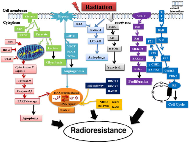 A schematic diagram for the putative mechanisms of the acquired cancer radioresistance after RT.