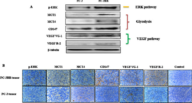 Overexpression of key proteins from ERK, Glycolysis, VEGF pathways observed in PC-3RR cell line and PC-3RR s.c xenograft tumors.