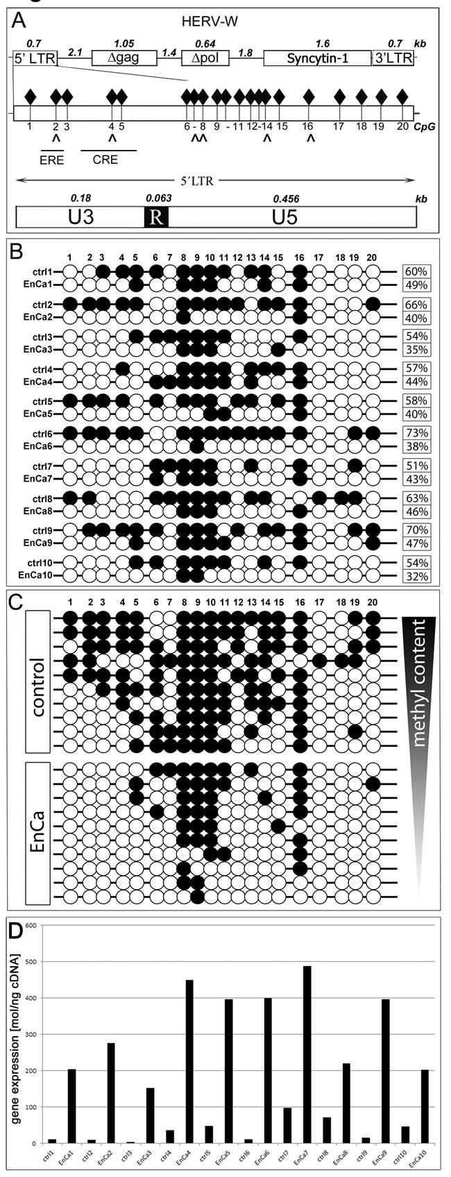 DNA methylation analysis of ERV-W 5'LTR.