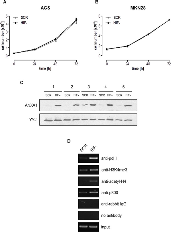 ANXA1 is a crucial mediator of HIF-1α-independent cellular proliferation.