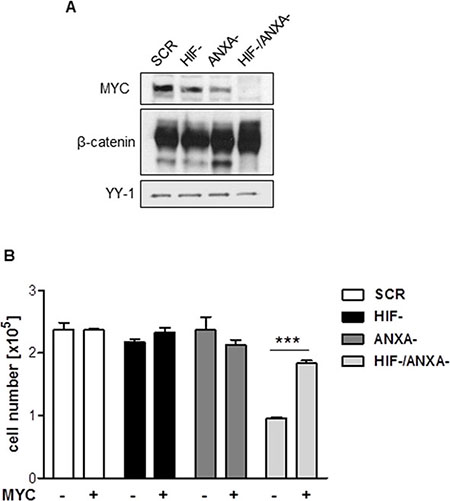 Contribution of MYC to the growth defect in HIF-1α/ANXA1-deficient cells.