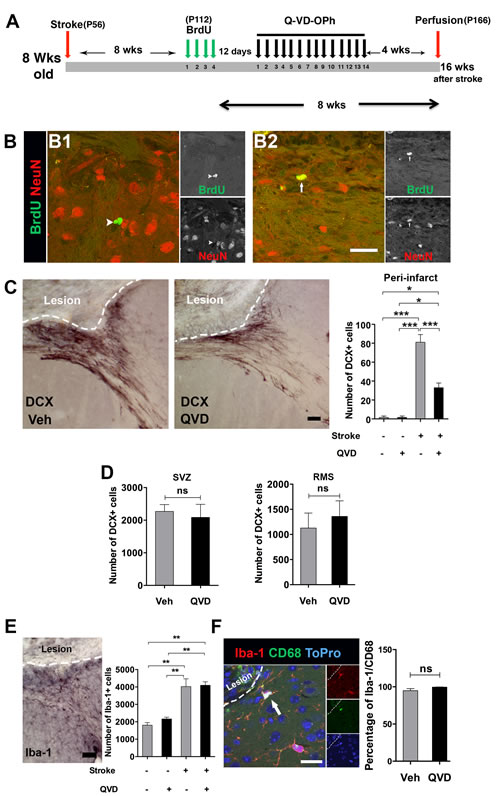 Assessment of cortical neurogenesis and migration after treatment with Q-VD-OPh late after stroke.