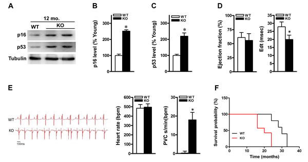 ALDH2 knockout mice display senescent-like features and show impaired heart function.