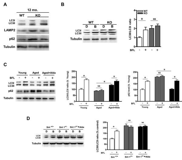 ALDH2 ablation leads to autophagic flux impairment.