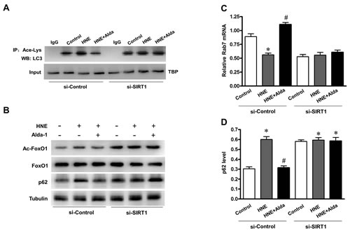 SIRT1 is essential for ALDH2-ameliorated autophagic flux under carbonyl stress.