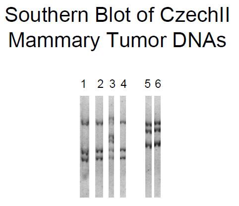 Southern blot of EcoRI digested DNA from: Lane 1, Czz26 mammary tumor (MT)-12; Lane 2, Czz26-MT12-metastasis (Met)-A; Lane 3, Czz26-MT12-MetB; Lane 4, Czz26-MT12-MetC; Lane 5, Czz28-MT6/7; and Czz28-MT6/7-Met.